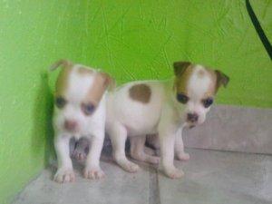 Vendo perros chihuahua cabeza de manzana - San Luis Potosi