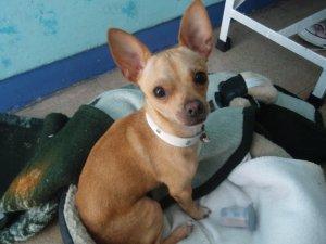 perrita para cruza con perro Chihuahua cabeza de manzana - Xalapa